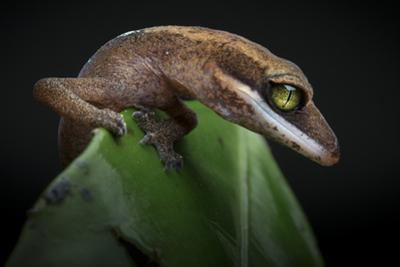 A Cat Gecko, Aeluroscalabotes Felinus, Rests on a Leaf by Robin Moore