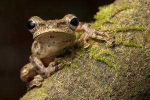 A Common Treefrog, Polypedates Leucomystax, from Palawan, the Philippines by Robin Moore