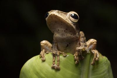 A Common Treefrog, Polypedates Leucomystax, on a Banana Leaf on Palawan, the Philippines by Robin Moore