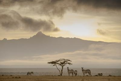 A Group of Plains Zebra, Equus Quagga, Gather Near an Acacia Tree at Sunset by Robin Moore
