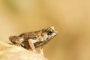 A Juvenile Palawan Horned Frog, Megophrys Ligayae, an Endangered Species by Robin Moore