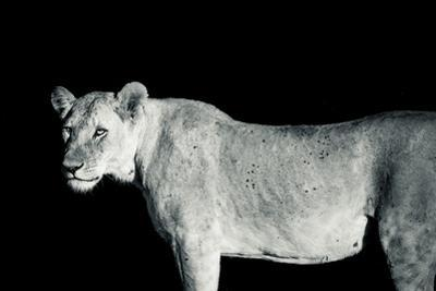 A Lioness, Panthera Leo, in Solio Rhino Sanctuary at Night by Robin Moore