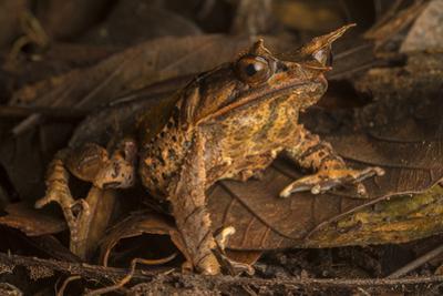 A Malaysian Horned Frog, Megophrys Nasuta, Rests on Leaf Litter by Robin Moore