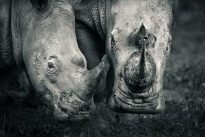 A mother and calf southern white rhino in Solio Rhino Sanctuary. by Robin Moore