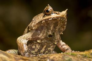 A Palawan Horned Frog, Megophrys Ligayae, an Endangered Frog from the Philippines by Robin Moore