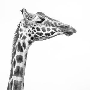 A Rothschild Giraffe with Eyes Closed at Giraffe Manor by Robin Moore