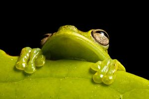 A Treefrog, Hyloscirtus Sp., Peers From Behind a Leaf by Robin Moore