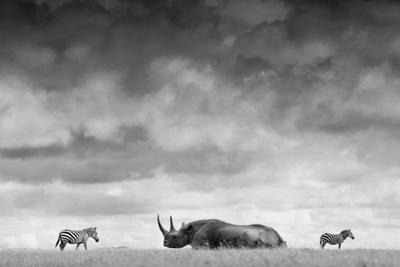 A White Rhino Lies in the Grass As Two Zebras Graze Behind by Robin Moore