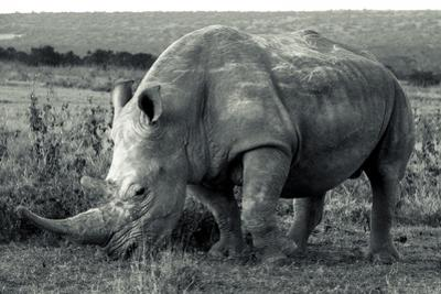 A White Rhinoceros, Ceratotherium Simum, Grazing on Grass in Solio Rhino Sanctuary by Robin Moore