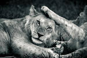 A young lion lays a paw on the head of another in Solio Rhino Sanctuary. by Robin Moore