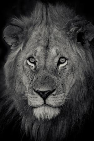 An Adult Lion Sits and Waits for Night to Fall in the Fading Light by Robin Moore
