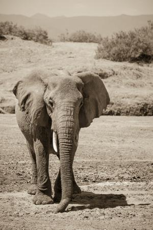An African Elephant Crossing a Dry Riverbed in Samburu National Reserve by Robin Moore