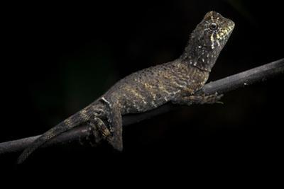 An Anglehead Lizard Rests on a Tree Branch by Robin Moore