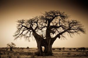 An Elephant-Made Hole in a Large Baobab Tree, Ruaha National Park, Tanzania by Robin Moore