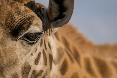 Close Up of an Endangered Rothschild Giraffe, Giraffa Camelopardalis Rothschildi, Eye by Robin Moore
