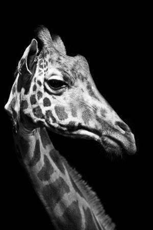 Close Up Portrait of an Endangered Rothschild Giraffe by Robin Moore