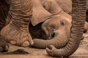 Elephants rest during the heat of the day in Samburu National Reserve. by Robin Moore