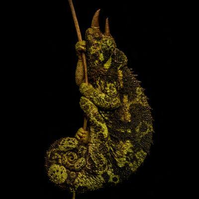 Male Jackson's Chameleon, Trioceros Jacksonii, Clinging to a Branch at Night by Robin Moore