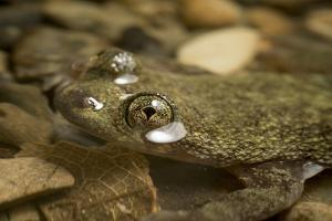 Philippine Flat-Headed Frog, Barbourula Busuangensis, a Vulnerable Species from Palawan by Robin Moore