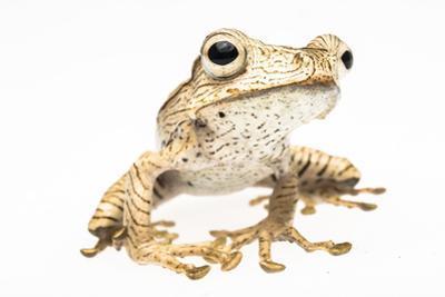 Portrait of a Borneo Eared Frog, Polypedates Otilophus by Robin Moore