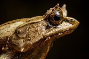 Portrait of a Palawan Horned Frog, Megophrys Ligayae an Endangered Frog by Robin Moore
