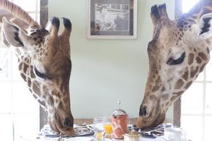 Two Giraffes Have Breakfast at Giraffe Manor in Nairobi, Kenya by Robin Moore