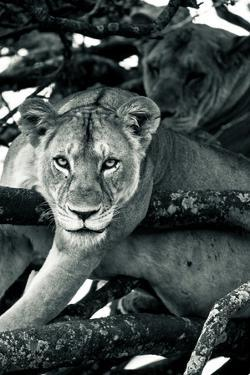 Two lionesses rest in a tree in Solio Rhino Sanctuary. by Robin Moore