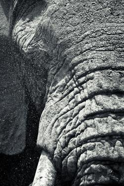 Water Sprays in a Close Up of An African Elephant's Eye and Trunk by Robin Moore
