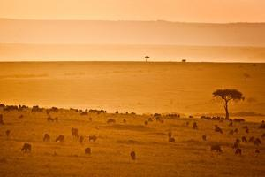 Wildebeest At Sunset in the Masai Mara by Robin Moore