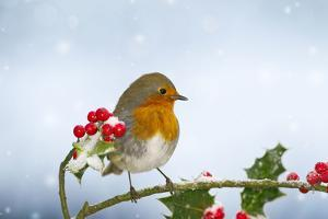 Robin on Holly in Snow