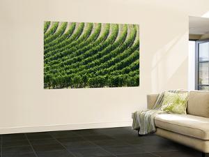 Rows of Grape Vines in Chianti Region by Rocco Fasano