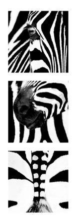 Zebra Tryptich by Rocco Sette