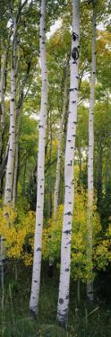 Rocky Mountain Aspen Forest