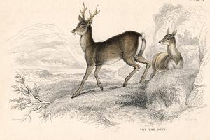 Roe Deer (Capreolus Capreolu), Eurasian Species of Deer, 1828