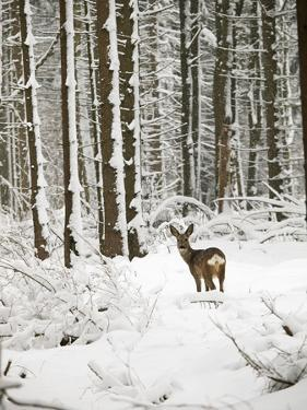Roe Deer in Snow