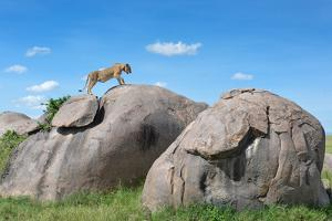 Lion at Serengeti by roevin