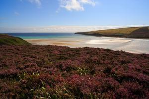 A Wide Sandy Beach Surrounded by Heather at Waulkmill Bay, Orkney Islands by Roff Smith