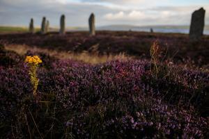 A Yellow Flower Amidst Purple Flowering Heather around the 5000-Year-Old Ring of Brodgar by Roff Smith