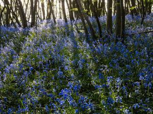 Bluebells Carpet the Ground in a Coppiced Wood at Guestling Wood, East Sussex by Roff Smith
