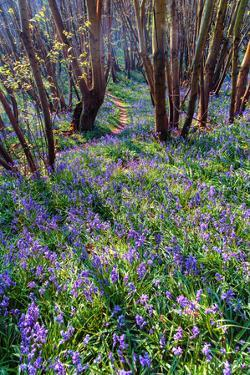 Bluebells Carpet the Ground in Guestling Wood, East Sussex, England by Roff Smith