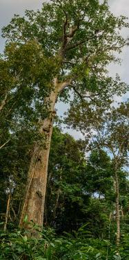 Marantaceae forest. Odzala-Kokoua National Park. Congo by Roger De La Harpe