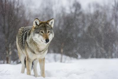 European Wolf in Winter by Roger Eritja
