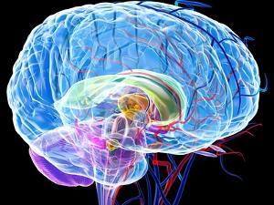 Brain Anatomy, Artwork by Roger Harris