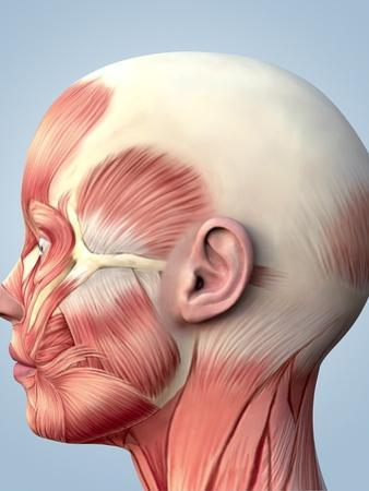 Muscular System of the Head by Roger Harris