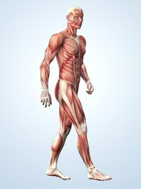 Muscular System by Roger Harris