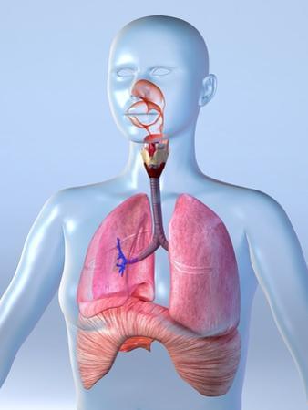 Respiratory System, Artwork by Roger Harris