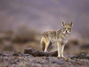 Coyote, Canis Latrans by Roger Holden