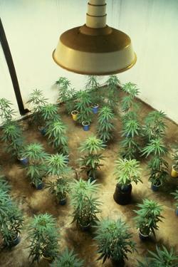 Marijuana Plants under Grow Light by Roger Ressmeyer