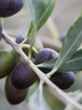 Olives on a Sprig by Rogge & Jankovic