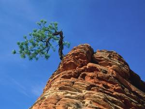 Tree on cliff, Zion National Park, Utah, USA by Roland Gerth
